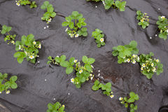 Strawberry plants with flowers Stock Photo