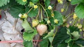 Strawberry Plants Royalty Free Stock Photo