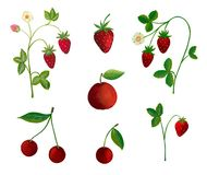 Strawberry plants and fruits Royalty Free Stock Photography