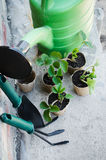 Strawberry Plants With Gardening Tools. Stock Photo