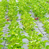 Strawberry plants Royalty Free Stock Image
