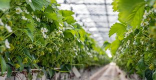 Strawberry plants growing on substrate in a large Dutch greenhou. Se. The cultivation gutters are at an ergonomic working height for the pickers. In the Royalty Free Stock Photo