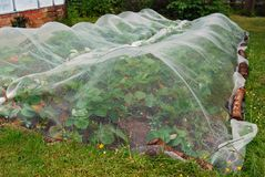 Strawberry plants growing under nets stock image