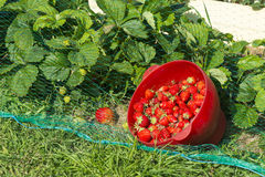Free Strawberry Plants In The Garden Of The House And Strawberries Ha Stock Photo - 72636210