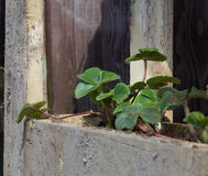 Strawberry plants in a pallet planter Stock Image