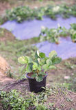 Strawberry plants. Strawberry plant in warm tone Royalty Free Stock Photography