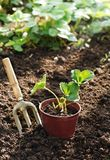 Strawberry plants in a pot Stock Image