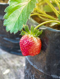 Strawberry plants in pot Stock Images