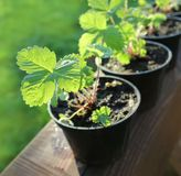Strawberry plants in pots Stock Photos