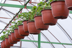 Strawberry plants in pots Royalty Free Stock Images