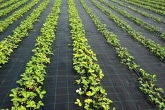 Strawberry plants Royalty Free Stock Photos
