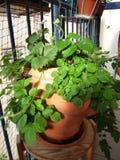 Strawberry plants Stock Photo