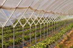 Strawberry plants in tunnel. Royalty Free Stock Photography