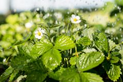 Strawberry plants under the water drops in the field in spring or summer time.  Stock Image