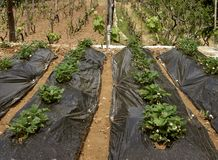 Strawberry plants and vineyard Royalty Free Stock Photography
