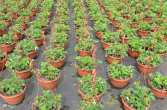 Strawberry plants  at the wholesale. Royalty Free Stock Images