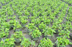 Strawberry plants  at the wholesale. Stock Image
