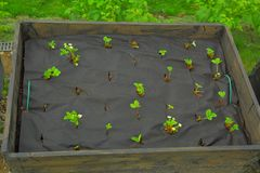 Strawberry plugs planting on special material. In the pallet collar. Sweden Royalty Free Stock Photo