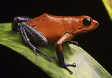 Strawberry poison arrow frog. Costa Rica tropical rain forest a macro of a beautiful exotic amphibian this pet animal is kept in a rainforest terrarium or Stock Images
