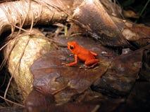 Strawberry poison-dart frog royalty free stock photos