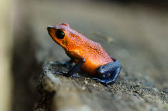 Strawberry Poison-Dart Frog Royalty Free Stock Photography