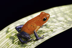 Strawberry poison dart frog Royalty Free Stock Images