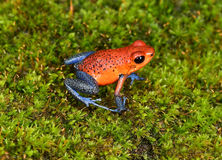 Strawberry poison dart frog, cahuita, costa rica blue jeans Royalty Free Stock Photos