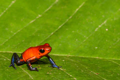Strawberry Poison Dart Frog Royalty Free Stock Image