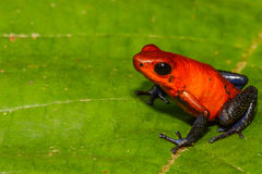 Strawberry Poison Dart Frog Royalty Free Stock Photo