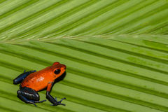 Strawberry Poison Dart Frog Royalty Free Stock Photos
