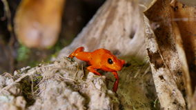 Strawberry Poison Dart Frog Dendrobates Pumilio. These amphibians are known as dart frogs because indigenous people use the frog's poison for blow darts stock video footage