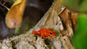 Strawberry Poison Dart Frog Dendrobates Pumilio. These amphibians are known as dart frogs because indigenous people use the frog's poison for blow darts stock footage