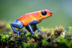 Strawberry Poison Dart Frog. The iconic poison frog of Central America sitting on a moss covered log on the forest floor, Costa Rica Stock Photography