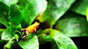 Strawberry poison dart frog. A strawberry poison dart frog (Ooehaga pumilio) on the leaves of a bromeliad plant stock footage