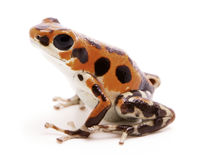 Strawberry poison dart frog, Oophaga pumilio Stock Images