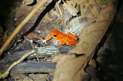 Strawberry poison dart frog Stock Images