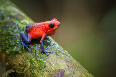 Strawberry Poison-Dart Frog Royalty Free Stock Images