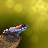 Strawberry poison dart frog Stock Photos