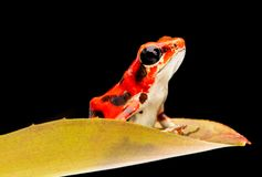 Strawberry poison dart frog from the rain forest of Boca del Toros stock image