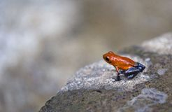 Strawberry poison-dart frog. Closeup on a rock Stock Image