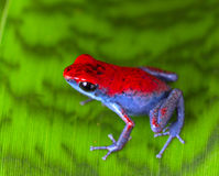 Strawberry poison frog Stock Images