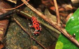 Strawberry poison frog Royalty Free Stock Images