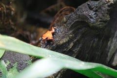 Strawberry poison frog Stock Image