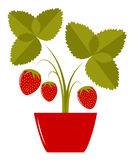 Strawberry in pot Stock Images
