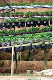 Strawberry pots in the Strawberry Farm Stock Photos