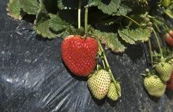 Strawberry producers Stock Image