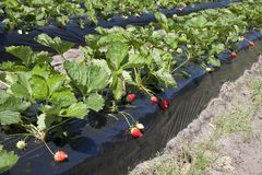 Strawberry production Royalty Free Stock Photos