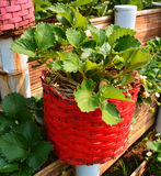 Strawberry in red pot Stock Images