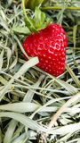 Strawberry. Red ripe strawberry on the straw Stock Photography
