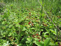 Strawberry. Red strawberry surrounded by green leaves Royalty Free Stock Photo